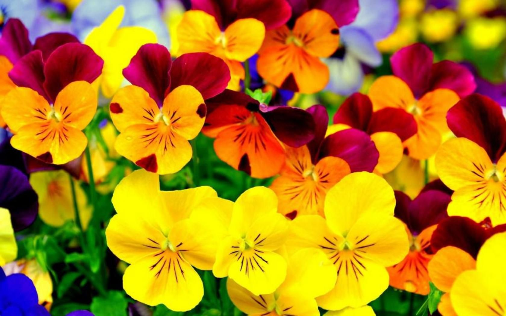 Colorful Flowers Wallpapers HD