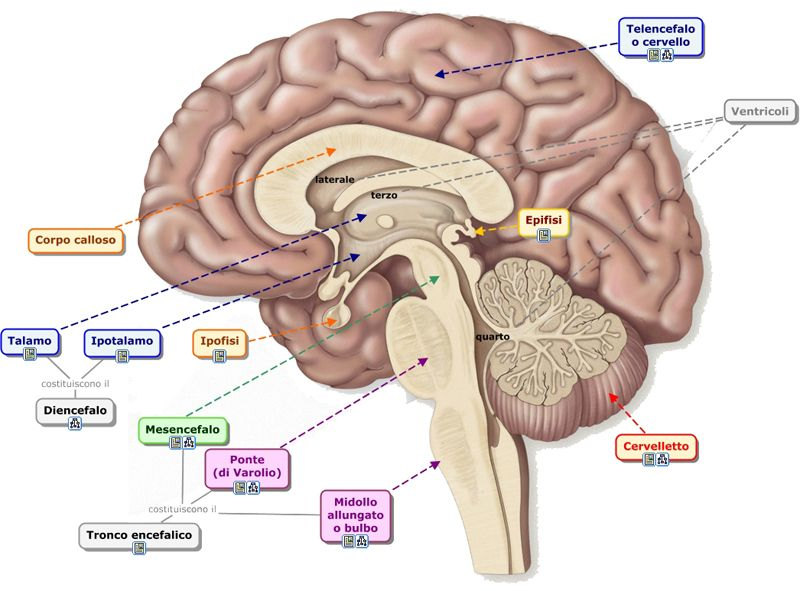 Cerveletto - móżdżek | Transcend | Pinterest | Psychology student