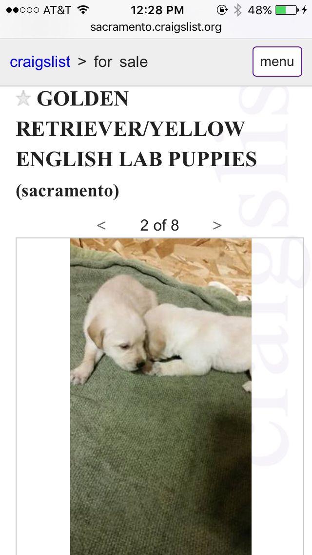 Oh My Gosh English Lab Puppies Lab Puppies Golden Retriever Yellow