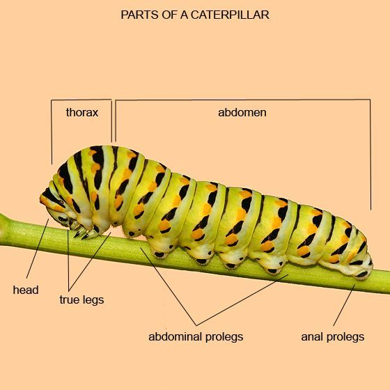 Awesome Label The Caterpillar Diagram Printout