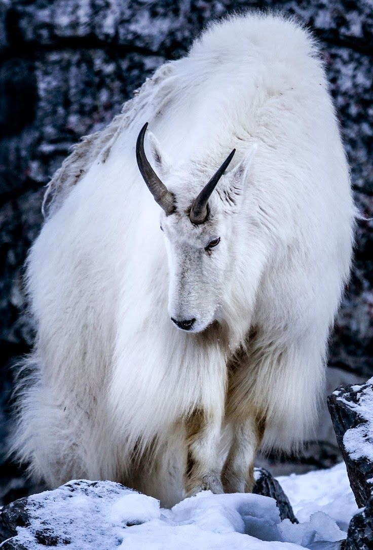 Cute Goat Wallpaper The Mountain Goat Oreamnos Americanus Also Known As The
