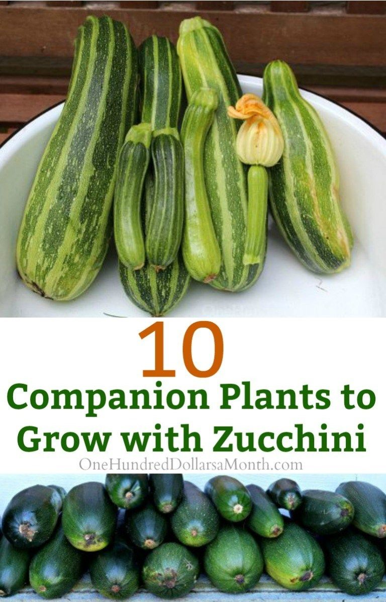 10 Companion Plants to Grow with Zucchini is part of Companion gardening, Companion planting, Garden companion planting, Zucchini plants, Home vegetable garden, Garden pests - I love to plant zucchini in the garden because it's freaking expensive in the store and one plant will produce a ton of zucchini making it a small space investment with big yields  Zucchini is super susceptible to a couple of pests, though, so I try to use companion planting and the love of picking pests […]