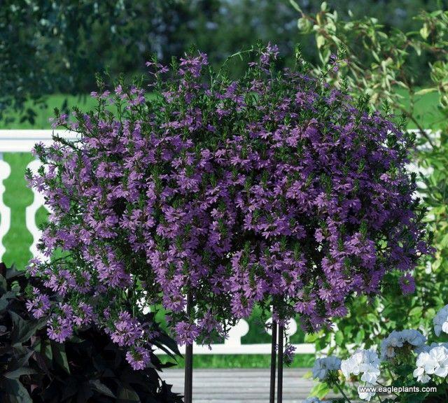 Kwiaty Balkonowe Najladniejsze Rosliny Plants Perennials Image Overlay