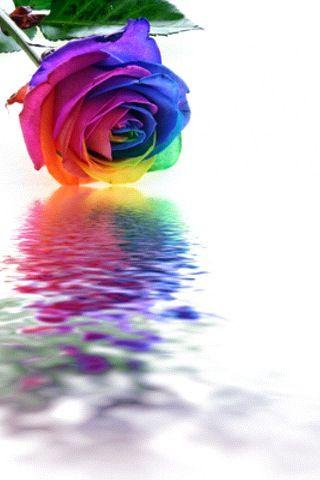 Rainbow Flower Colorful Roses Rainbow Roses Rose