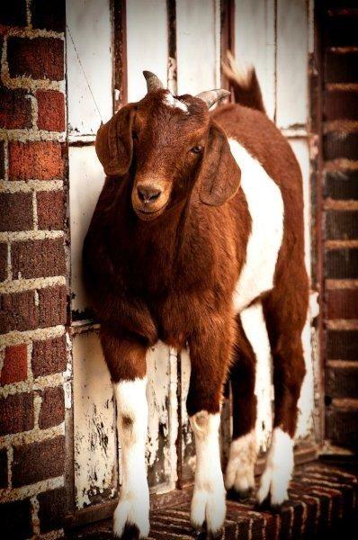Curious Goat Osu Sheep Barn Stillwater Ok Sheep Barn Design Goats