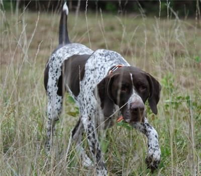 5 Tips For Training Your Bird Dog In The Off Season Dog Clicker