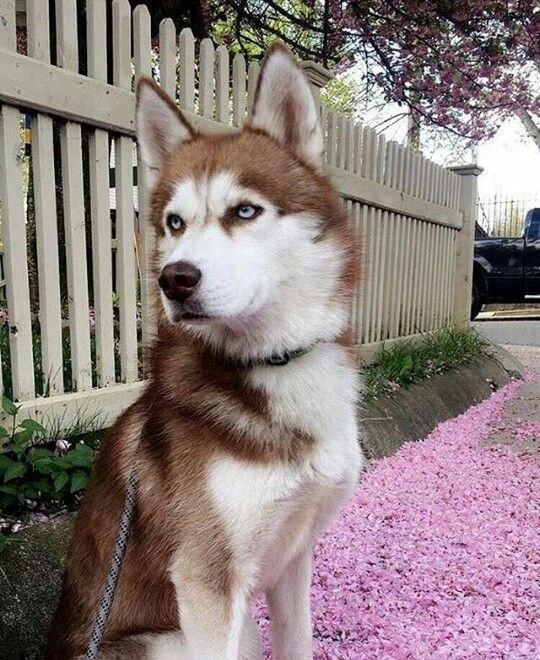 Types Of Huskies Huskies Are The Best Dogs Ever Siberian Husky