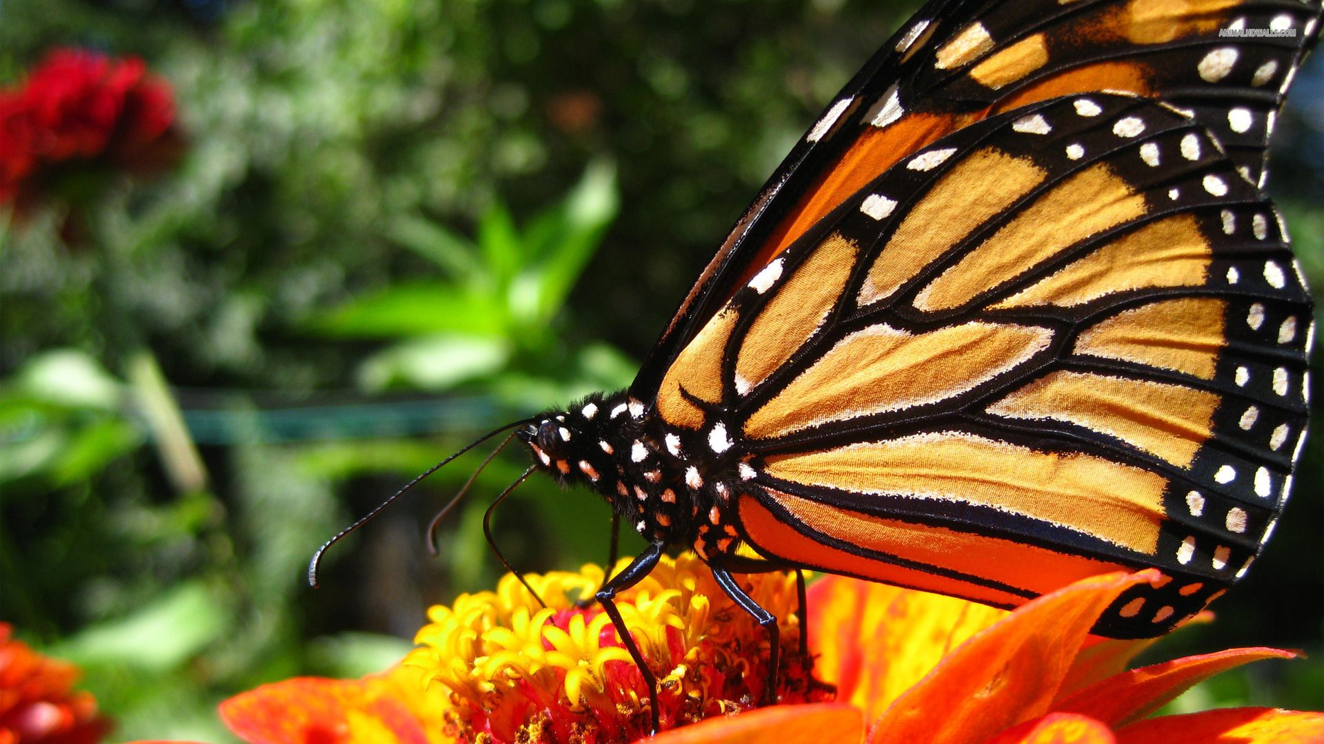 Wonderful Monarch Butterfly Yellow Flowers Outdoor Picture ...