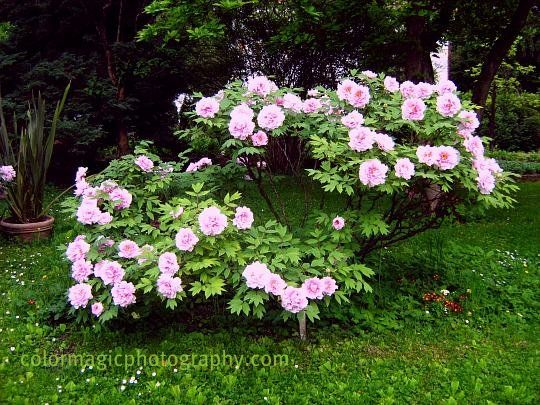 tree peonies paeonia suffruticosa pink peony flower. Black Bedroom Furniture Sets. Home Design Ideas