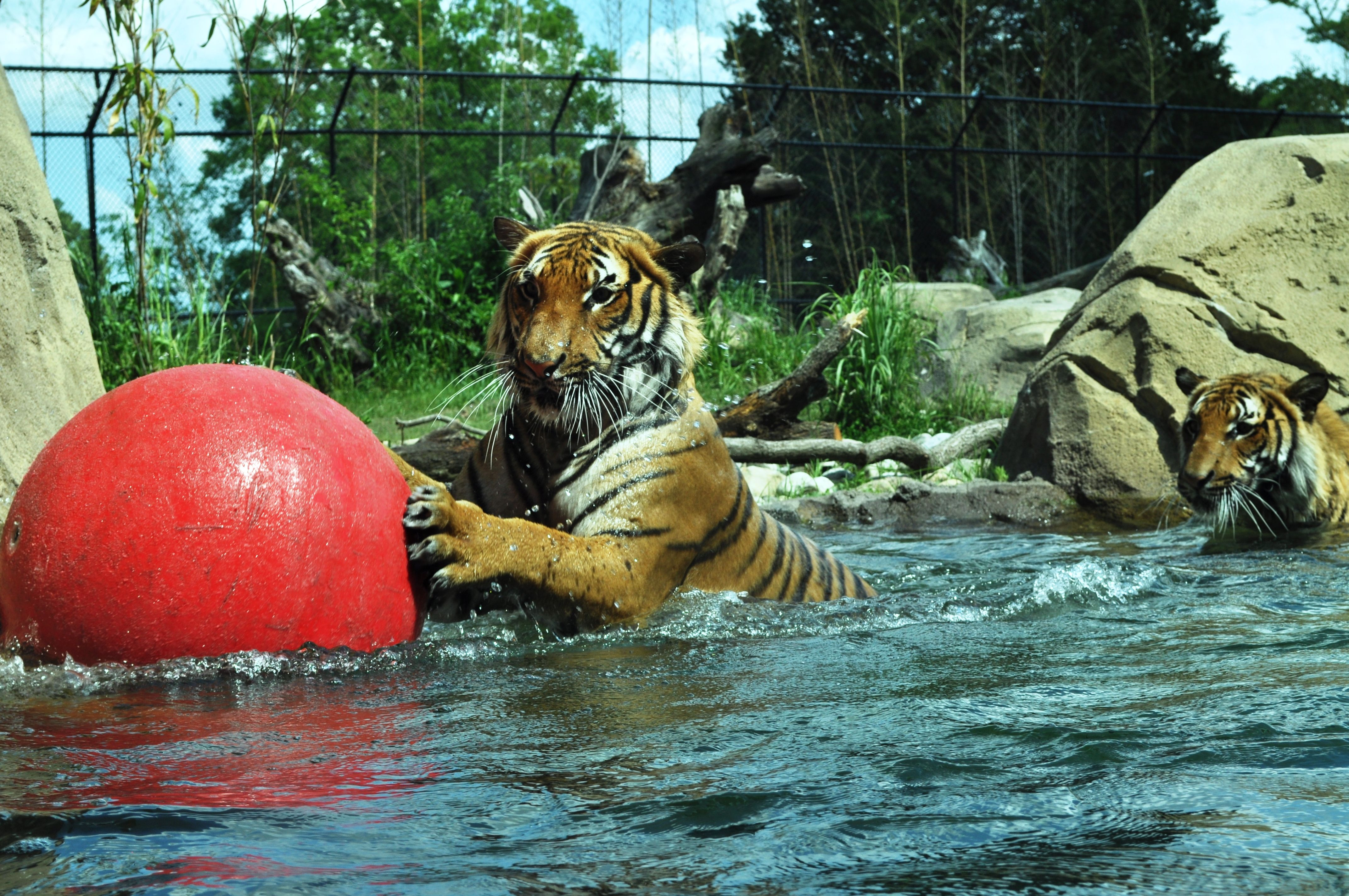 Today I visited the zoo and watched the tigers play.