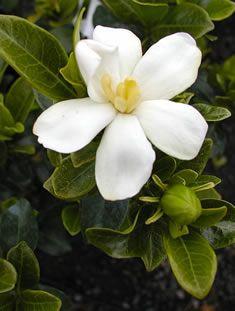 Kleim S Hardy Gardenia Intensely Fragrant 2 3 Hardy To Zone 7