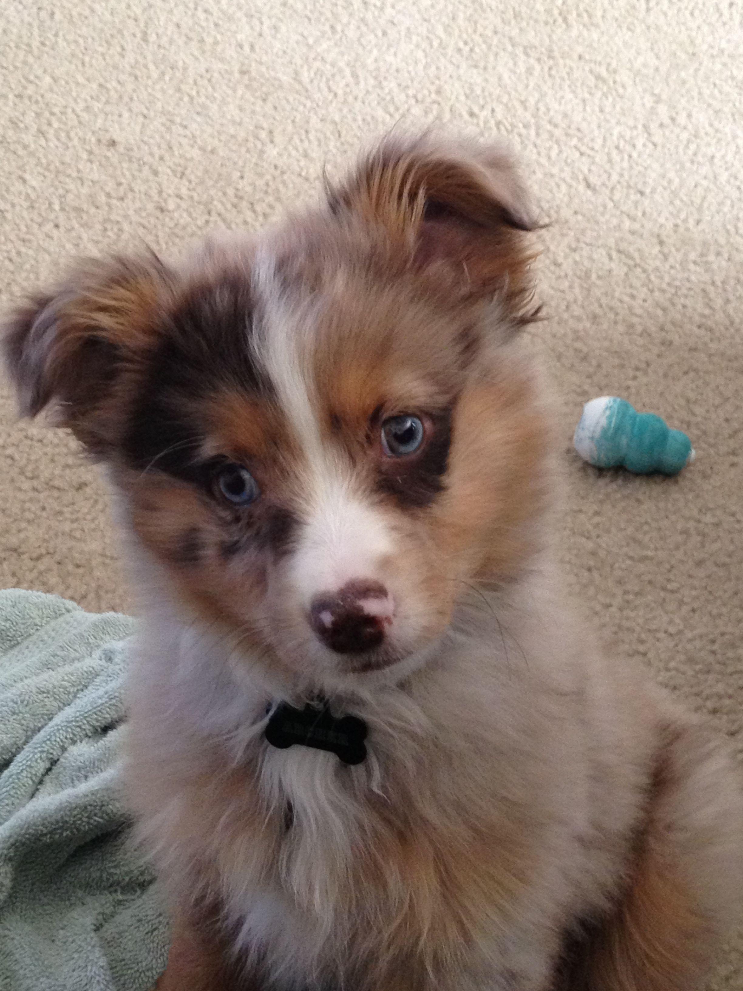 12 Weeks Red Merle Mini Aussie Archer Cute Funny Animals Mini Aussie Shepherd Best Dog Breeds
