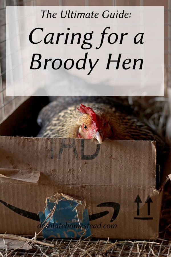 Caring for a Broody Hen | Broody, Chickens backyard ...
