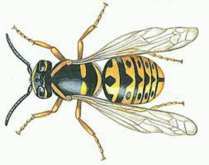 hornet anatomy diagram bridge rectifier wiring pin by john conroy on root baskets wasp insects bug tattoo