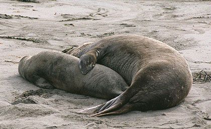 Hunted Nearly To Extinction For Their Oil Rich Blubber Elephant Seals Have Made A Remarkable Comeback Protected By T Elephant Seal Big Sur Big Sur California