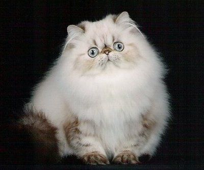 Tortie Lynx Point Himalayan Persian Persian Kittens Teacup Persian Cats Pretty Cats