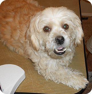 Phoenix Az Lhasa Apso Shih Tzu Mix Meet Fiona A Dog For