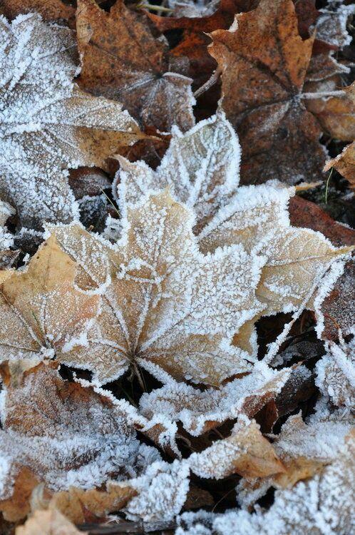 Frozen Leaves Freeze Leaves Nature Winter Cold Photo Hiver Paysage Hiver Couleurs D Hiver