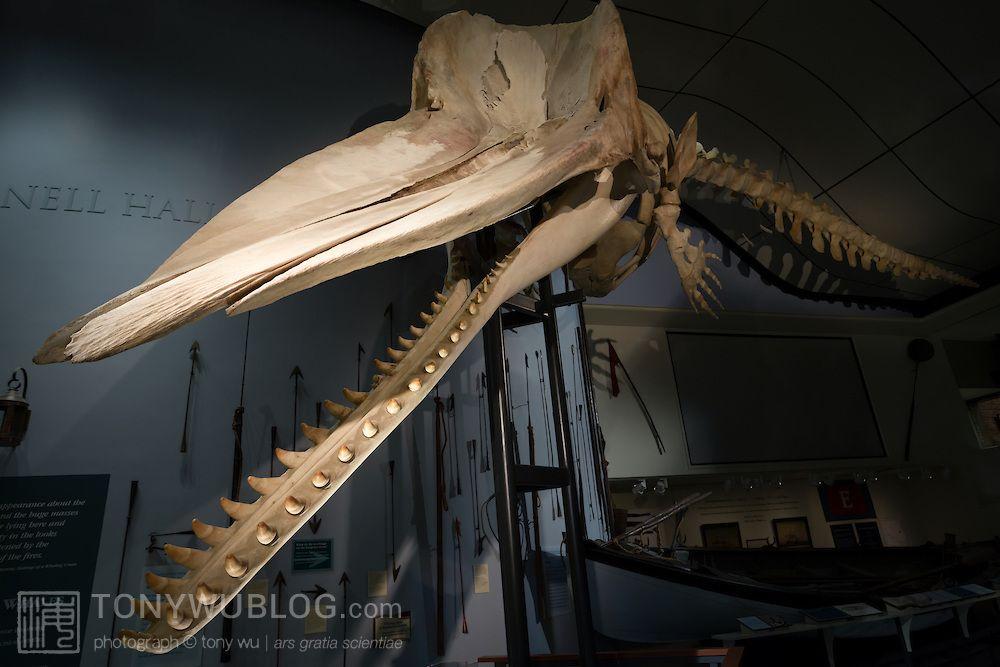 Sperm whale skull