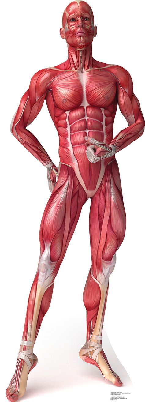 musculos | músculos/anatomia | Pinterest | Anatomy, Drawings and ...