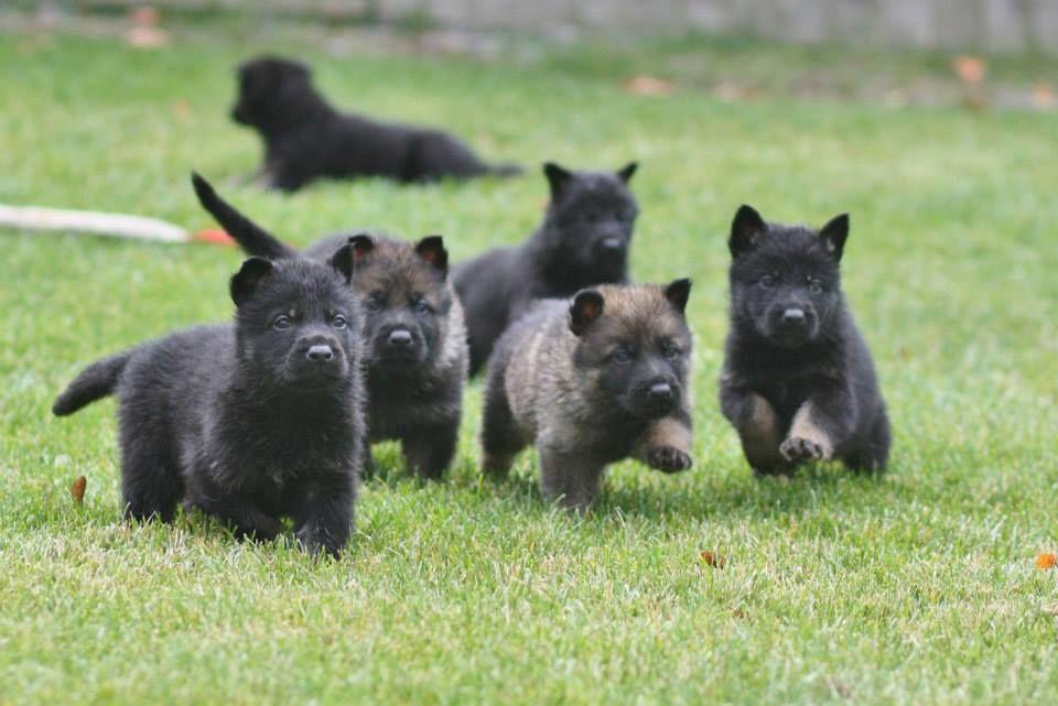 Kenai S German Shepherd Puppies Black German Shepherd Dog