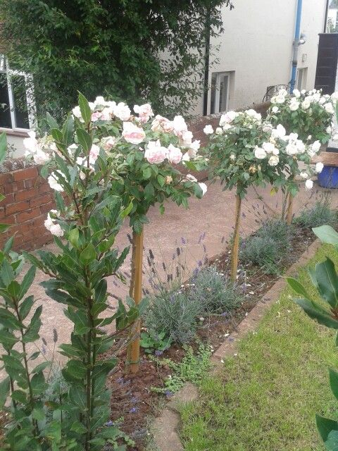 Standard Roses And Lavender Rose Garden Design Standard Roses