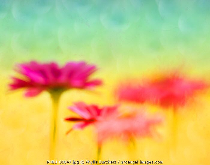 www.arcangel.com - floral-abstract-of-pink-flowers-with-yellow-and