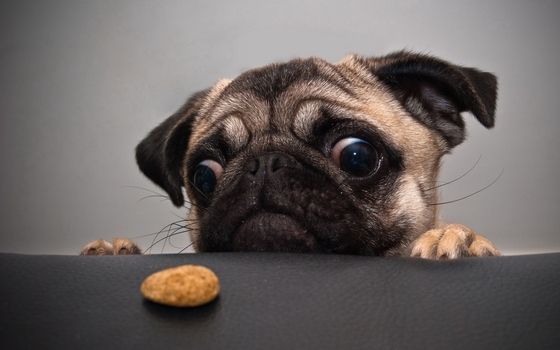 Cute Baby Wallpapers Online Shopping Funny Pug Wallpaper Screensaver Background Funny Animal