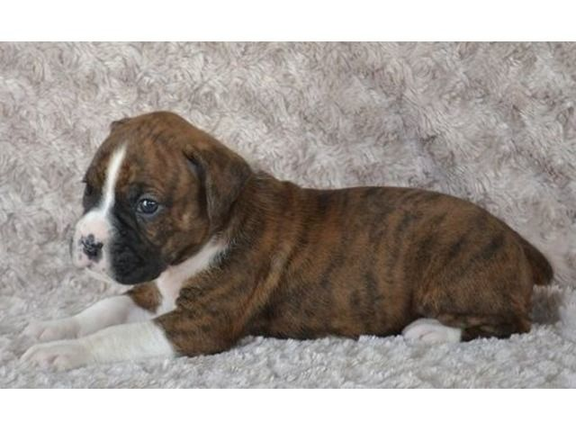 listing Cute and adorable Boxer puppies ready to... is