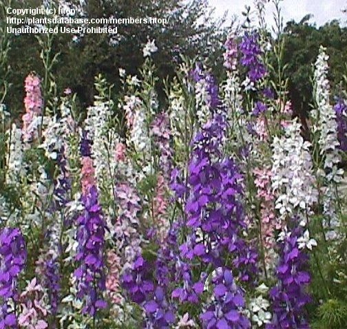 Plantfiles Pictures Rocket Larkspur Consolida Ambigua By Htop Larkspur Delphinium Perennials