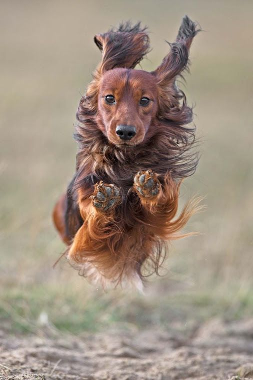 Long Haired Dachshund On The Run Beautiful Dogs Long Haired