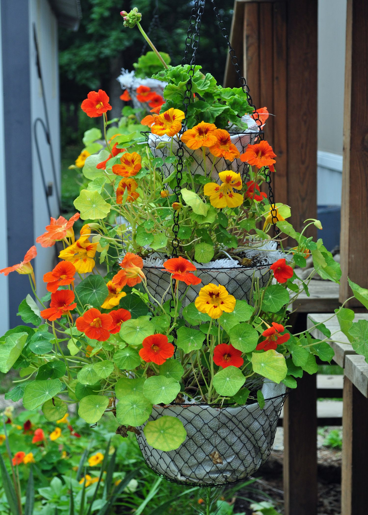 Nasturtiums And Geranium That I Planted In The 3 Tiered Kitchen Hanging  Basket. Lined Baskets
