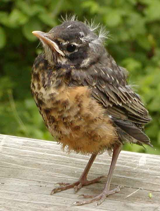 Superb Fledgling Birds   Google Search