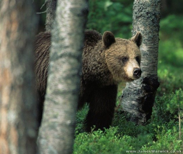 Brown Bear In The Forest Suomussalmi Finland Photo By James Warwick There Are Thought To Be Around 14 000 Brown Bears Left Bear Pictures Brown Bear Bear