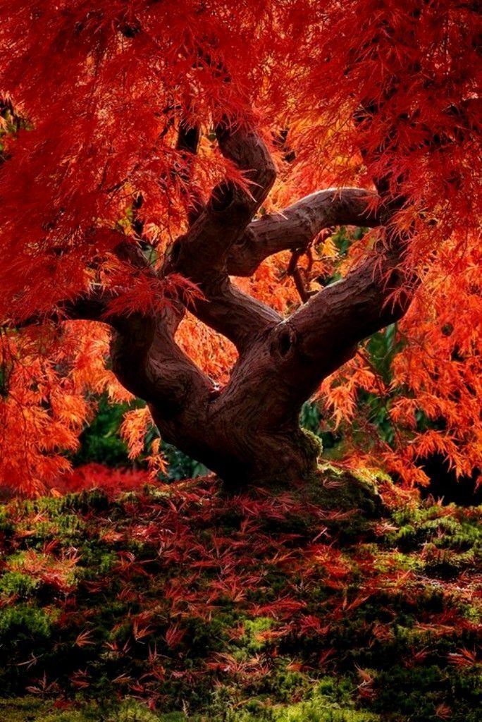 Cloud Tree Landscape Dragon Tree, Japanese Garden, PortlandDragon Tree, Japanese Garden, Portland