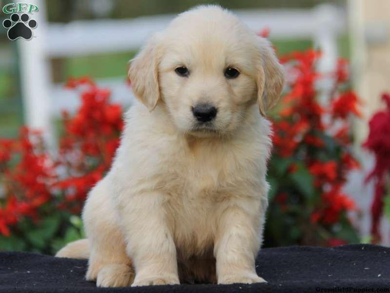 Dexter, Golden Retriever puppy for sale in Leola, PA