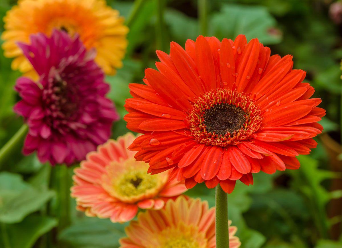 8 Plants Never To Grow Indoors Plants Gerbera Daisy Gerbera