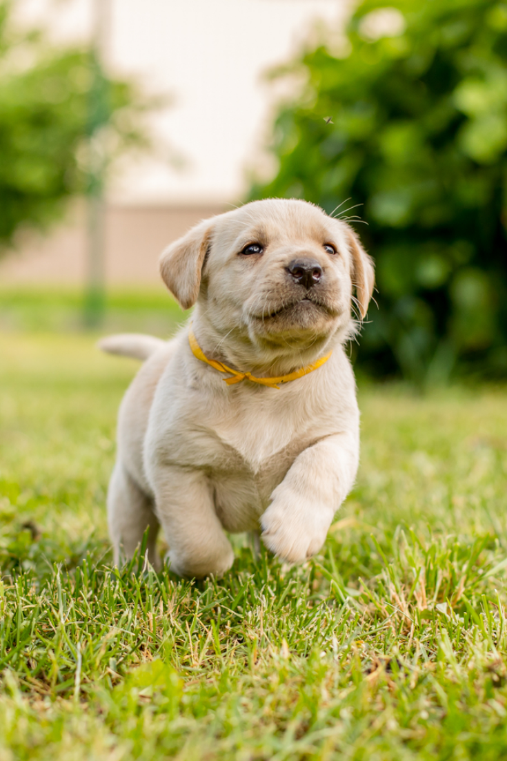 Labrador retriever puppy running in the garden