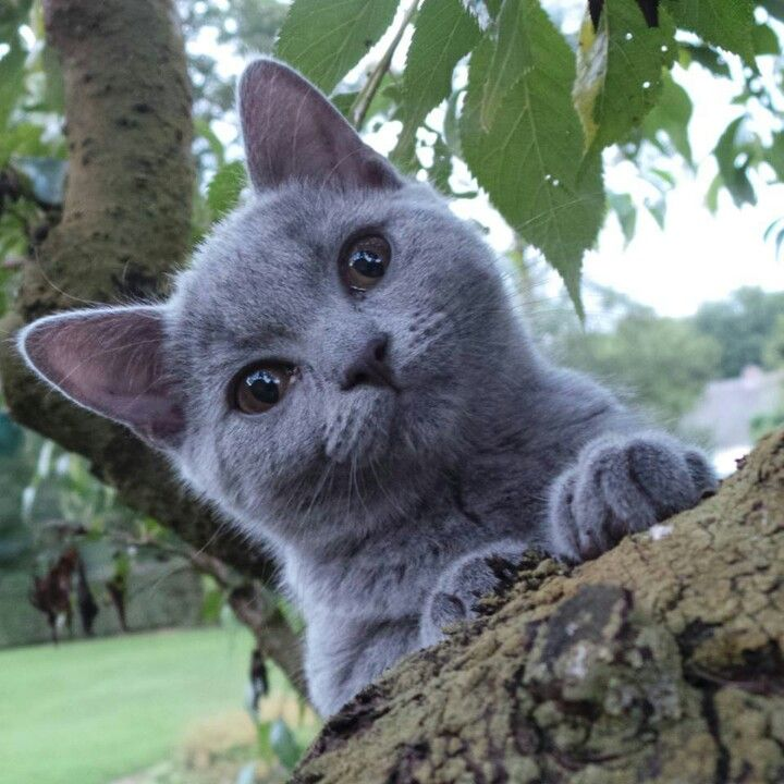 Get Dominic His Long Dreamed Of Chartreux Cats And Kittens Chartreux Cat Cute Cats