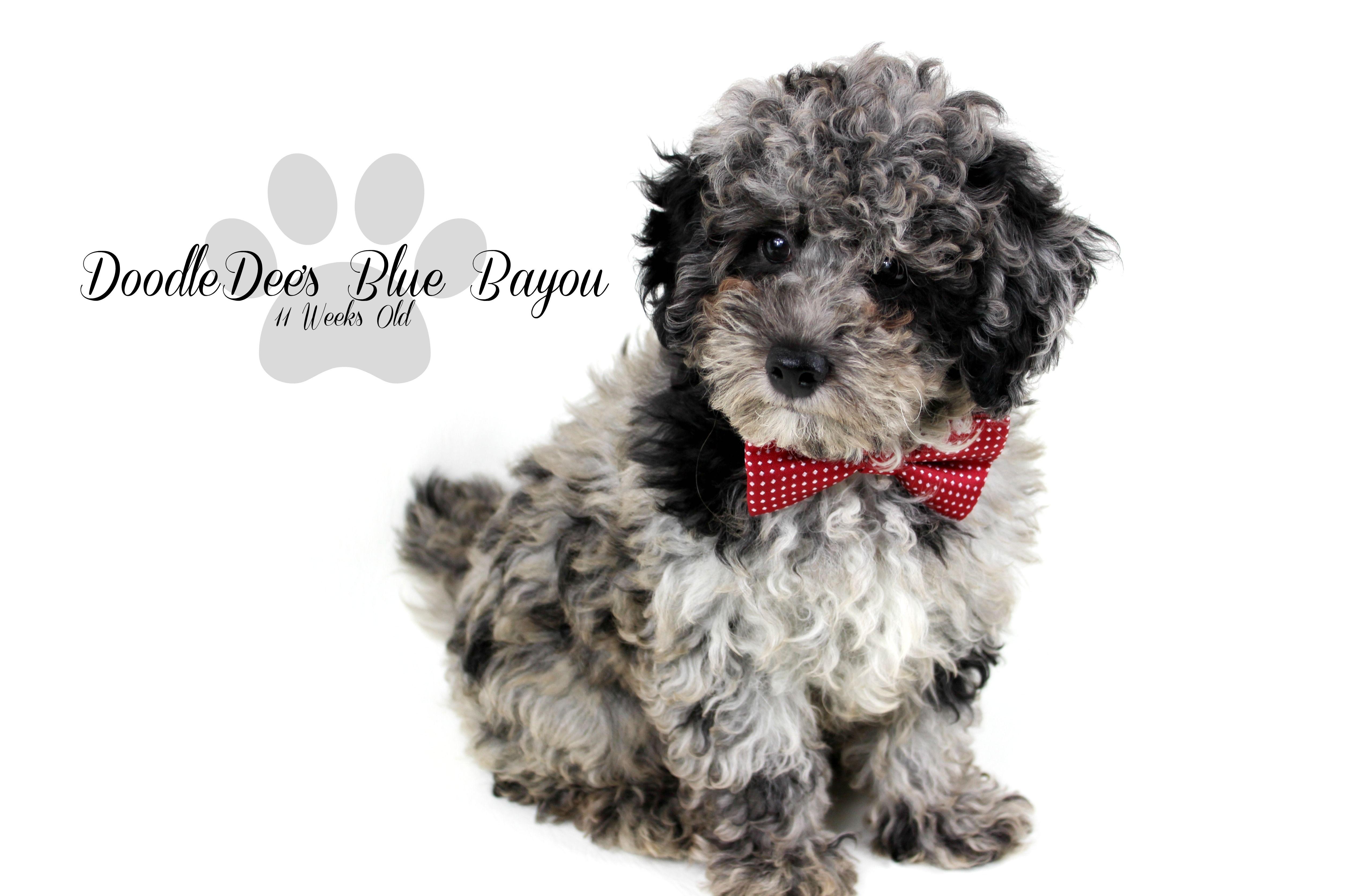 Blue Merle Mini Poodle Blue Bayou Blue Bluemerlepoodle