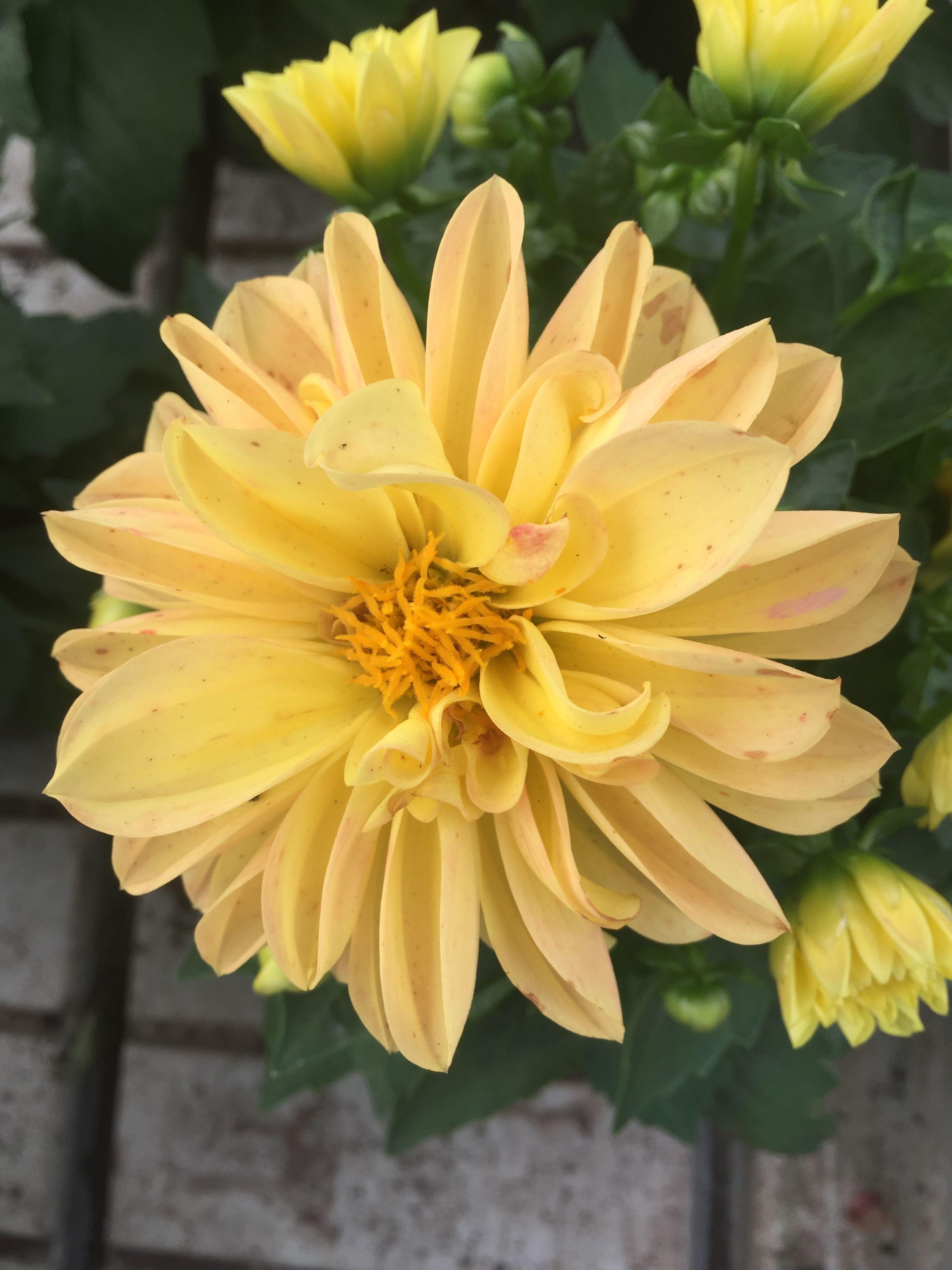 Yellow Dahlia Like The Sun Dahlia Pinterest Dahlia And Flowers