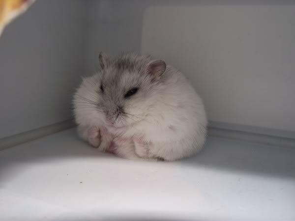 The Cutest Russian Dwarf Hamsters Top 5 Russian Dwarf Hamster