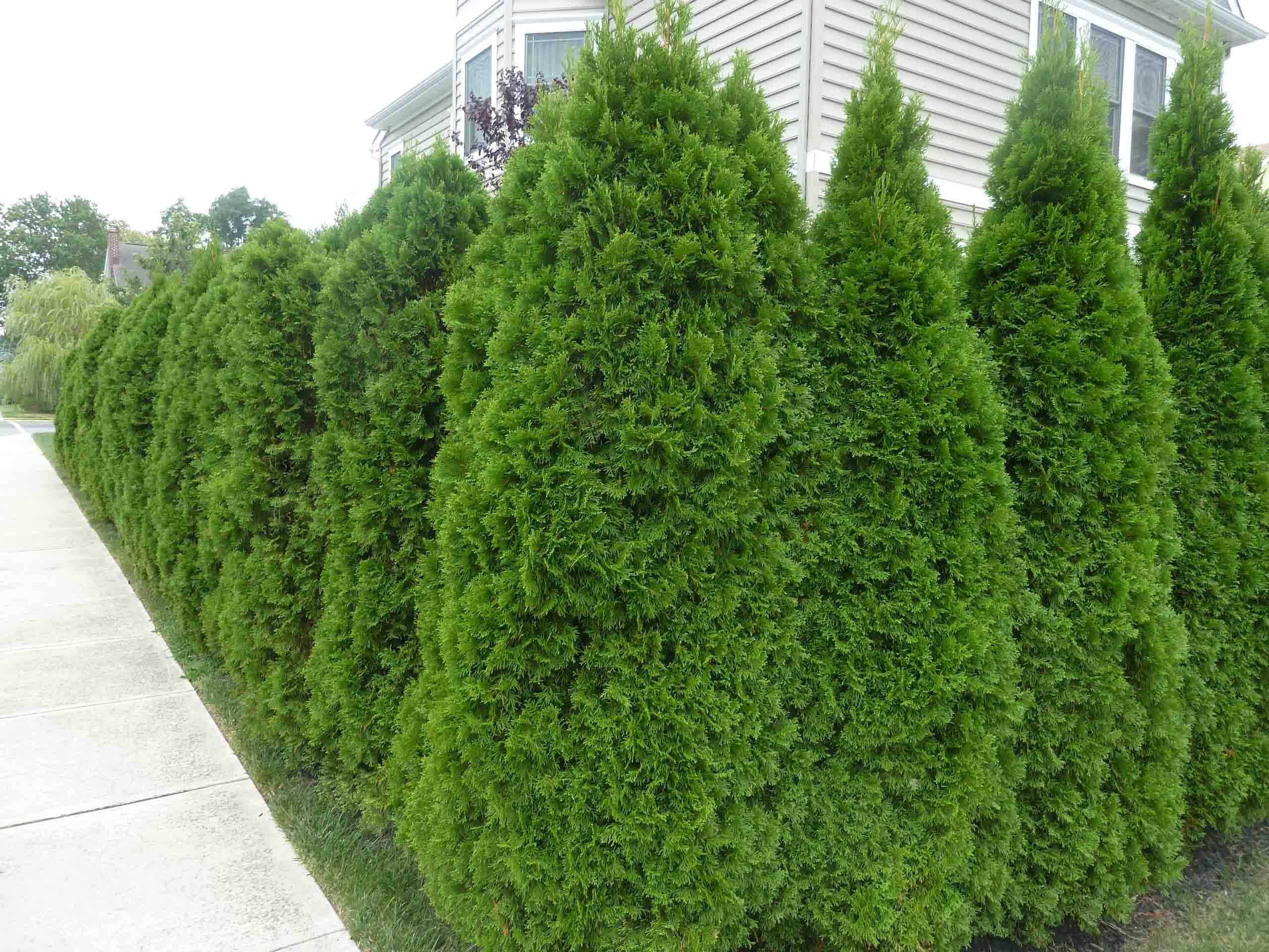 Thuja Emerald The Ultimate Low Maintenance Hedge  Gardeners Blog