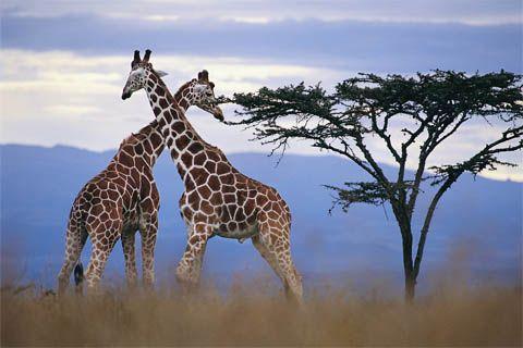 Giraffes in South Africa. #wildlife #nature