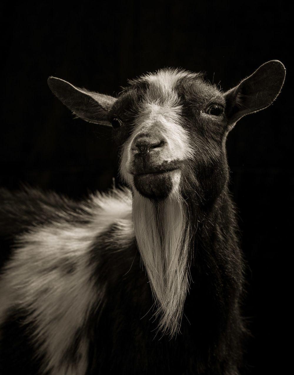 Resultado de imagen para mandy la cabra