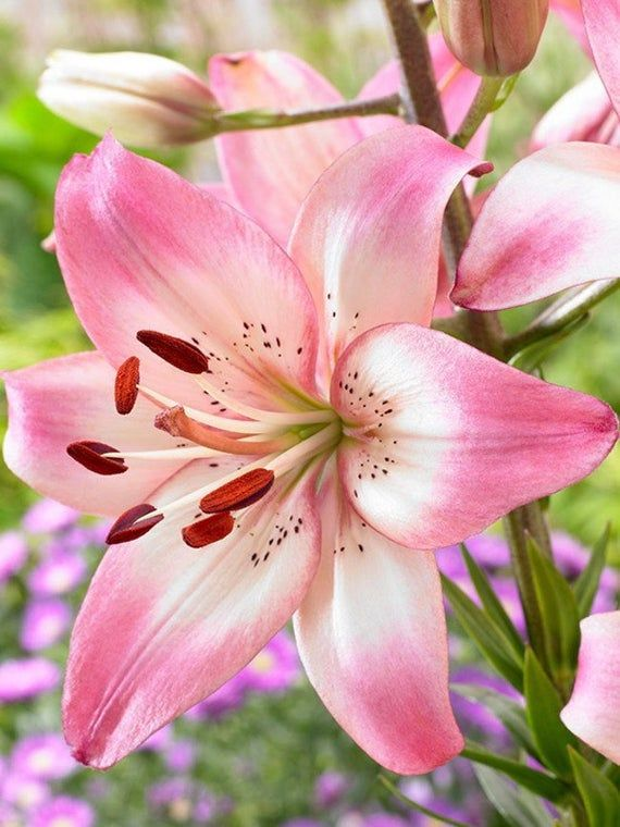 3 Lily Bulbs-Asiatic Lily 'Rosella's Dream' (Pack of 3 Bulbs) Pink, Perennial, Zones 3-8
