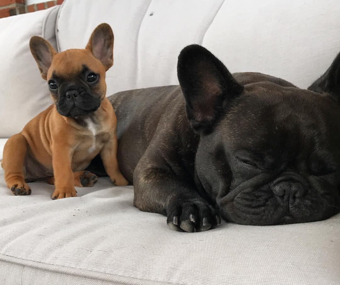 Cute Image By Cherline Lee French Bulldog Bulldog Dogs