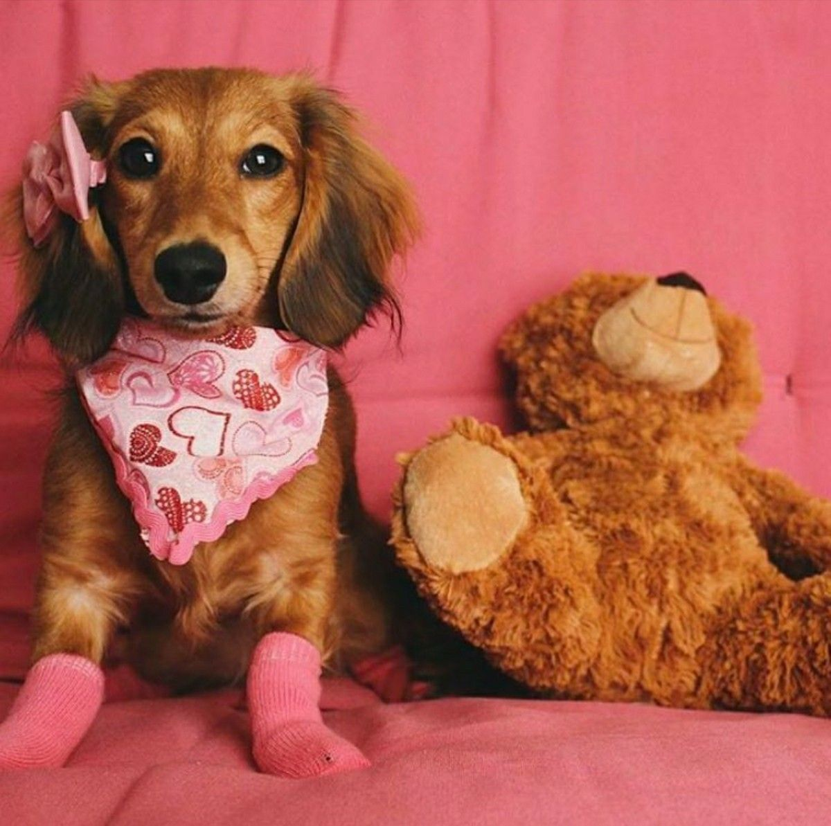 Dachshund longhaired dachshund food animals doggy