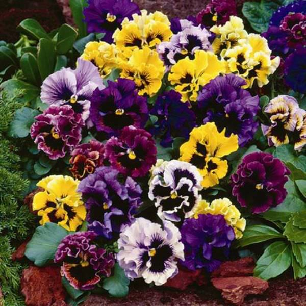 Pansy Frizzle Sizzle Mix Improved Annual Flower Seeds Pansies Flowers Flower Seeds Annual Flowers