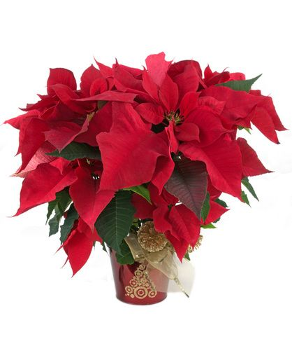 Glitter Gold Poinsettia Zeidler S Poinsettias Are A Great Way To Welcome The Holiday Season The P Same Day Flower Delivery Flower Delivery Poinsettia Plant